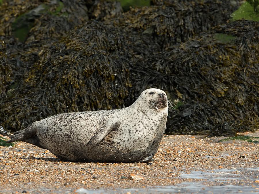 grijze-zeehond1