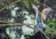 paringijsvogel1