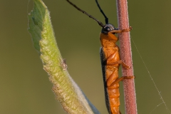 Cantharis_Lateralis