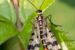 gewoneschorpionvlieg