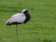 jufferkraanvogel1