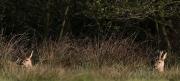 geitenbokbreed