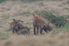 vechtende-vossen