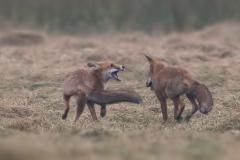 vechtende-vossen2