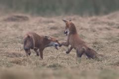 vechtende-vossen3